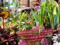 orchidées for garden